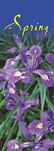 ZOW 903A Spring Beauty Siberian Iris