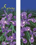 ZOW 903B Spring Beauty Siberian Iris
