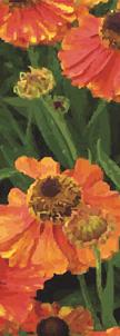 zow 905A Orange Poppies